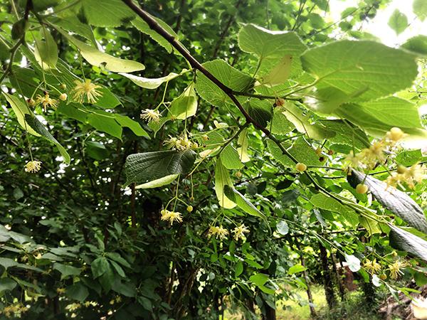 フランス・リンデンバウムの枝