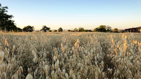 フランスの田舎のひよこ豆畑