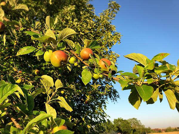 フランスの田舎のりんごの木