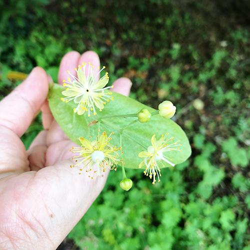 フランス・リンデンバウムの花