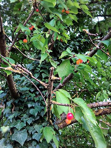フランスの田舎のサクランボの木